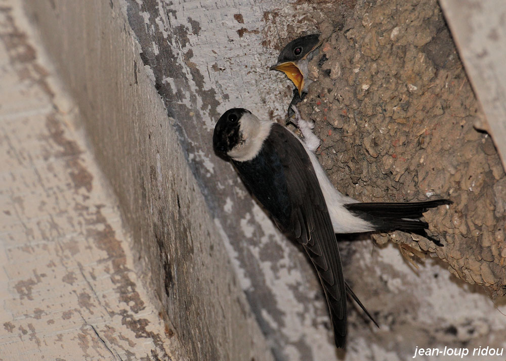 Les ailes de l aisne hirondelle de fen tre for Hirondelle de fenetre
