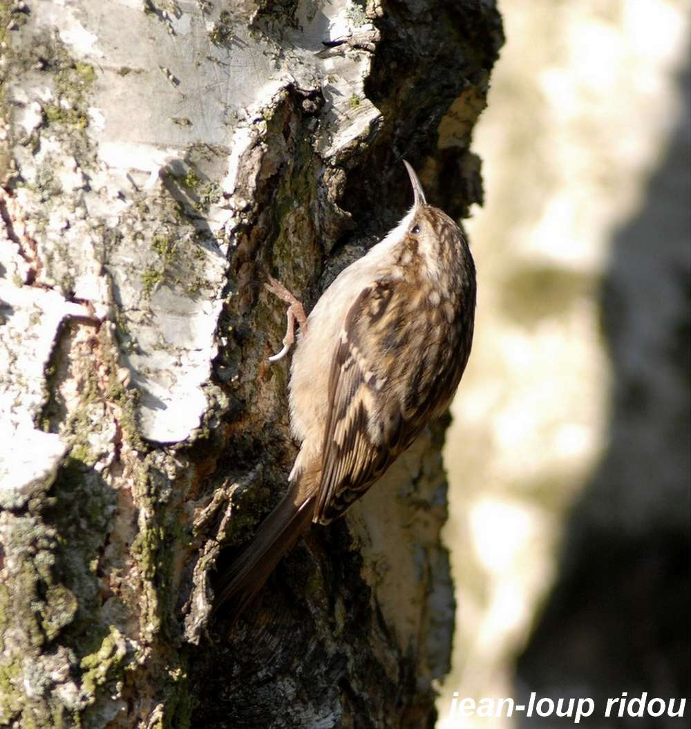 Les ailes de l aisne grimpereau des jardins for Passereaux des jardins